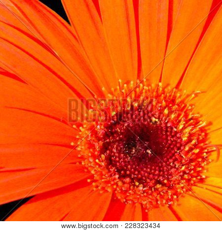 Intricate Detail Of The Center Of A Bright Orange Shasta Daisy.