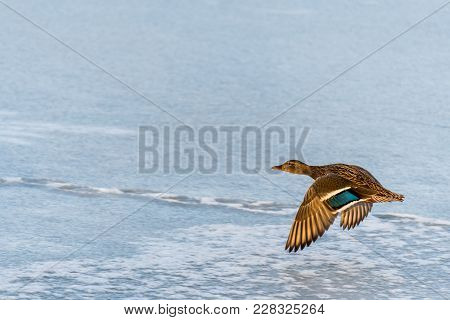 Wild Mallard Duck Flying Over The Frozen Lake