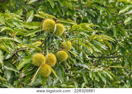 Sweet Chestnut Tree Canopy With Leaves And Ripe Chestnuts