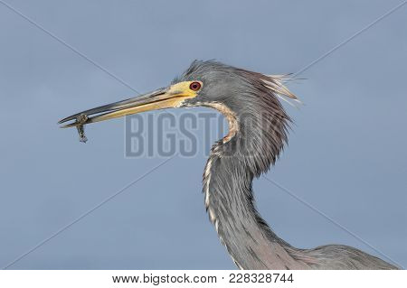 Closeup Of A Tricolored Heron (egretta Tricolor) Eating A Small Fish - Crystal River, Florida