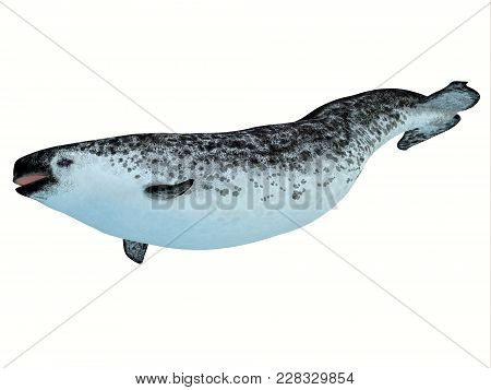 Narwhal Female Whale 3d Illustration - The Narwhal Is A Medium Sized Toothed Whale That Lives In Soc