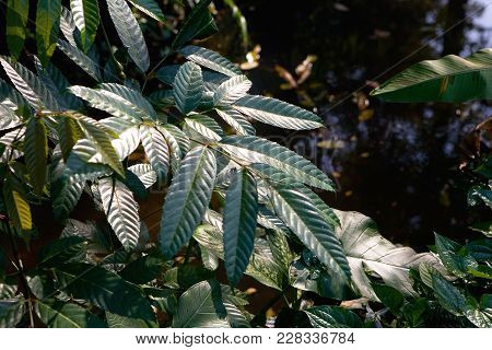 Leaves Of Exotic Plants Near The Water. Thailand.