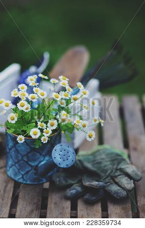 Garden Work Still Life In Summer. Chamomile Flowers, Gloves And Toold On Wooden Table Outdoor In Sun