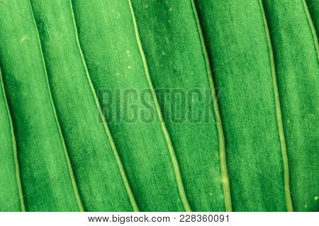 Abstract Leaves Texture Background Tropical Green Nature Pattern,close Up.