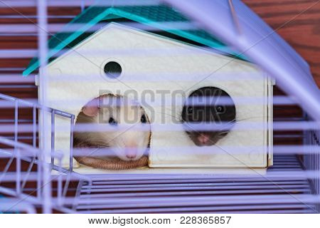 Domestic Rats In A Cage. Rats Are Sitting In The House Sticking Out Their Faces. Soft Focus