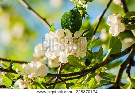 Spring Flowers Of Blooming Spring Apple Tree. Natural Spring Flower Landscape, Closeup Of Spring App