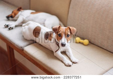 Cute Jack Russell Dogs Sleeping And Resting On The Couch. Dog Having A Siesta, Daydreaming