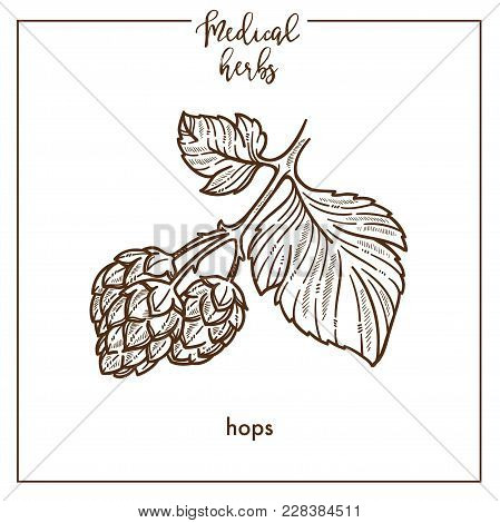 Hops Medical Herb Sketch Botanical Design Icon For Medicinal Herb Or Phytotherapy Herbal Tea Infusio
