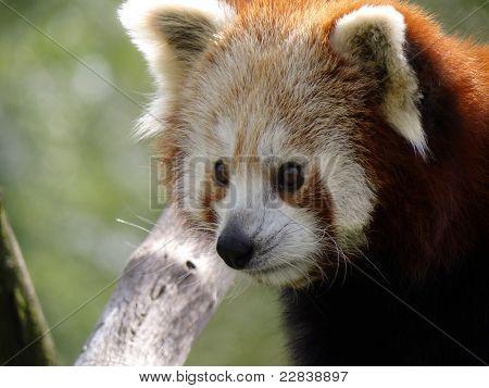 Red Panda Close-up