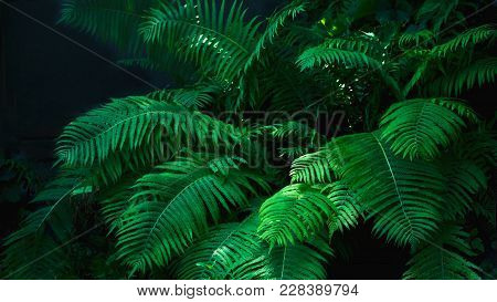 Beautyful Ferns Leaves Green Foliage Natural Floral Fern Background In Sunlight Glare Of Light On Th