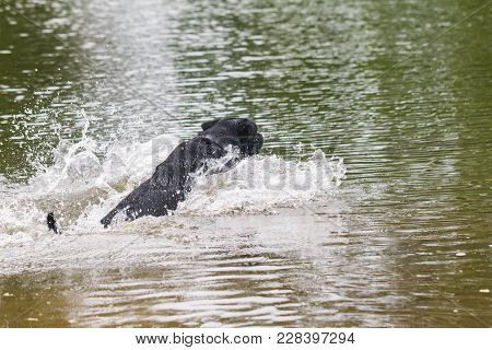 Big Black Dog Labrador Retriever Play With Owner, Adult Purebred Lab In Summer Green Park Near The W