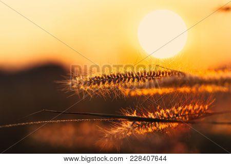 Closeup Feather Grass Flower Sunset Background Rural Countryside Landscape Dawn Orange Sky.