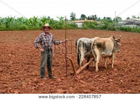 Vinales, Cuba - 27 October 2016: Cuban Farmer With Oxen Working In The Fields At The Cultivation Of