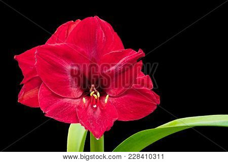 Red Amaryllis Flower On A Black Isolated Background, Free Space On The Right, For Design