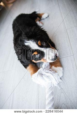 Bernese Puppy Playing A Bernese Puppy Playing In Home