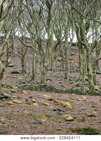 Stark Woodland Winter Trees With Twisted Branches On A Hillside With Bareground With A Ruined Stone