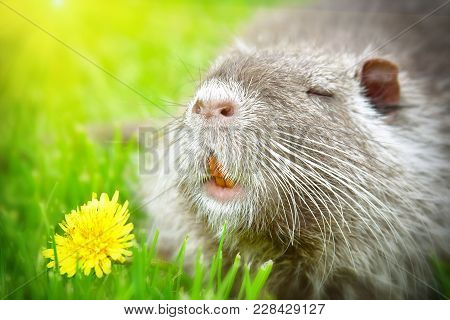 Funny Cute Nutria Sniffing Dandelions Sitting In The Grass