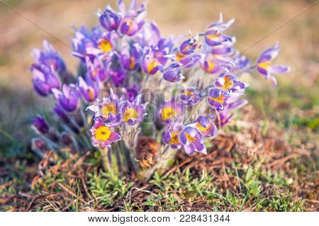 Large Group Of Sunlit Fluffy Pulsatilla Flowers In A Wild. Slightly Toned Image.