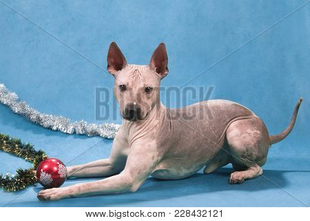 The Dog Of Breed The American Naked Terrier Lies On A Blue Background