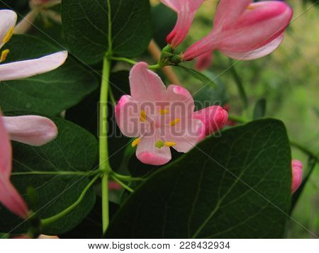 Pink Honeysuckle Blossoms With Green Leaves Close Up