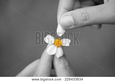 Black And White Of Close Up Sad Woman Hand Tears Off Petals Of Daisy Flower With Yellow Pollen. Brok