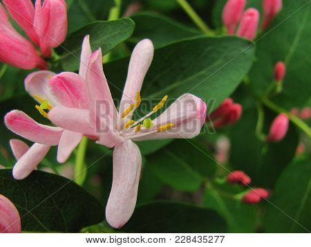 Pink Honeysuckle Blossoms With Buds And Green Leaves On A Background Close Up