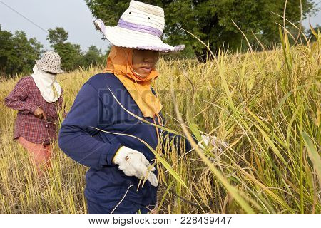 Khon Kaen, Thailand - November 22, 2007: A Group Of Women Farmers Harvest Rice By Hand, In Northeast