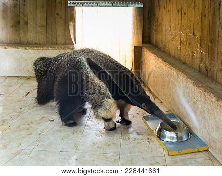 Giant Anteater - Myremacophaga Tridactyla - Drinks Water From A Bowl On The Doorstep Of An Apartment