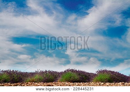 Plateau Valensol - Lavender Field Rows With Summer Blue Sky And Clouds, France