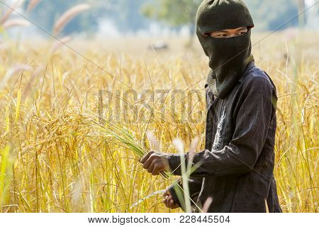 Khon Kaen, Thailand - November 22, 2007: A Farmer Harvesting Rice By Hand, In A Rice Field In Northe