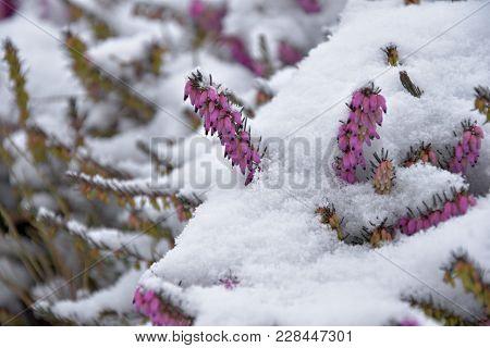 Heather. Snowy Calluna Vulgaris. Calluna Vulgaris Covered With Snow.