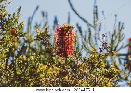 Banksia Tree With Red Flowers Shot In Sydney, Australia