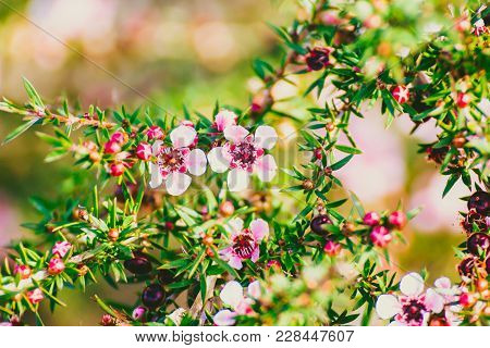 Tea Tree Plant With Pink-red Flowers Shot At Shallow Depth Of Field In Sydney, Australia