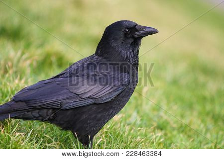 A Carrion Crow Standing On A Grassy Slope
