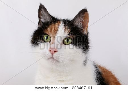 Beautiful Tricolored Cat Portrait In The Studio