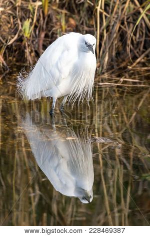 One little egret in a pond with reflection.