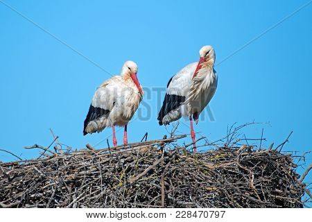 Stork couple on their nest in springtime in Portugal