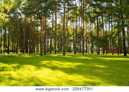 Sunny Meadow In Pine Forest In Summer