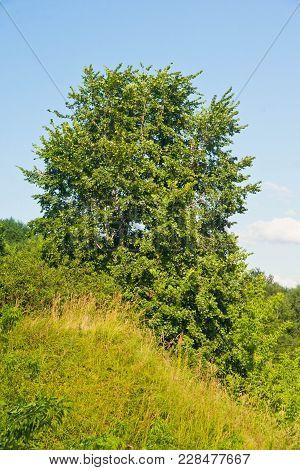 Tree On A Hillside In Summer Day