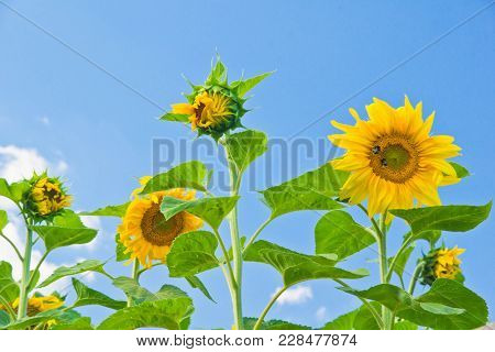 Colorful Sunflowers And Blue Sky