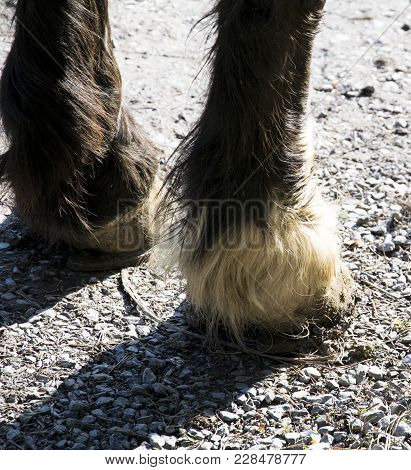 Horse Hooves In The Sun Taken In The Spessart Forest Near The City Of Aschaffenburg In Germany. Bava