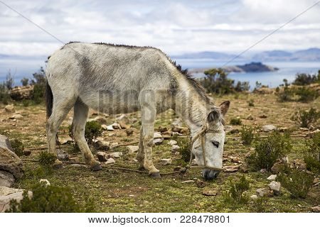 Donkey At Isla Del Sol On Lake Titicaca In Bolivia