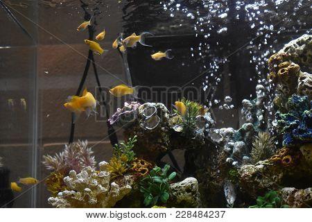 Mollys In A Fish Tank