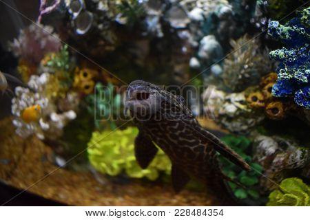Pleco In A Fish Tank