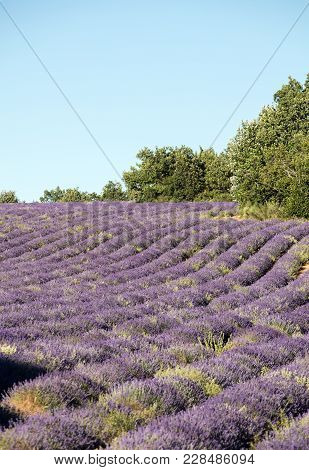 Lavender Field Near Sault In Provence,  France.