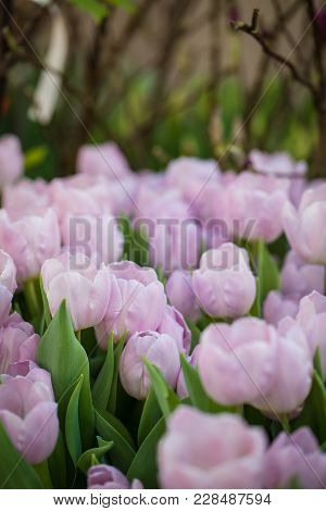 Blossoming Mistic Prince Tulips, Selective Focus, Spring Postcard Background Concept. Toned
