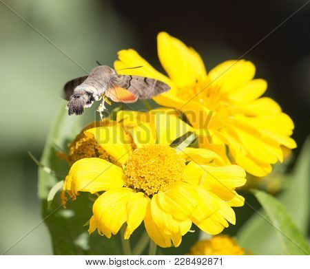 Sphingidae, Known As Bee Hawk-moth, Enjoying The Nectar Of A Yellow Flower. Hummingbird Moth. Calibr