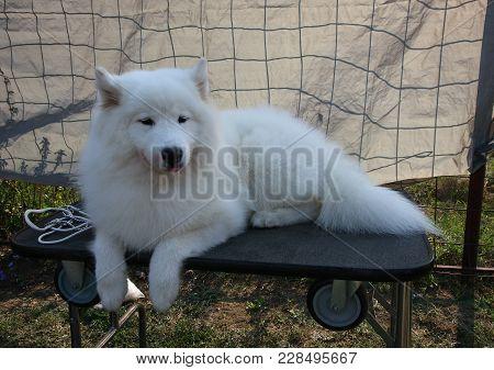 Siberia's Samoyed Posing
