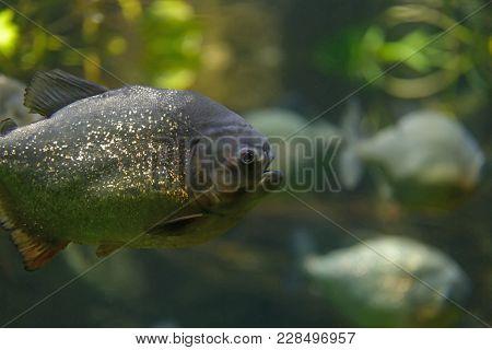 Wild Piranha Closeup In The Aquarium. Pygocentrus Nattereri.