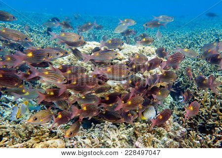 Group Of Fish Gnathodentex Aurolineatus - Fusilier Fish